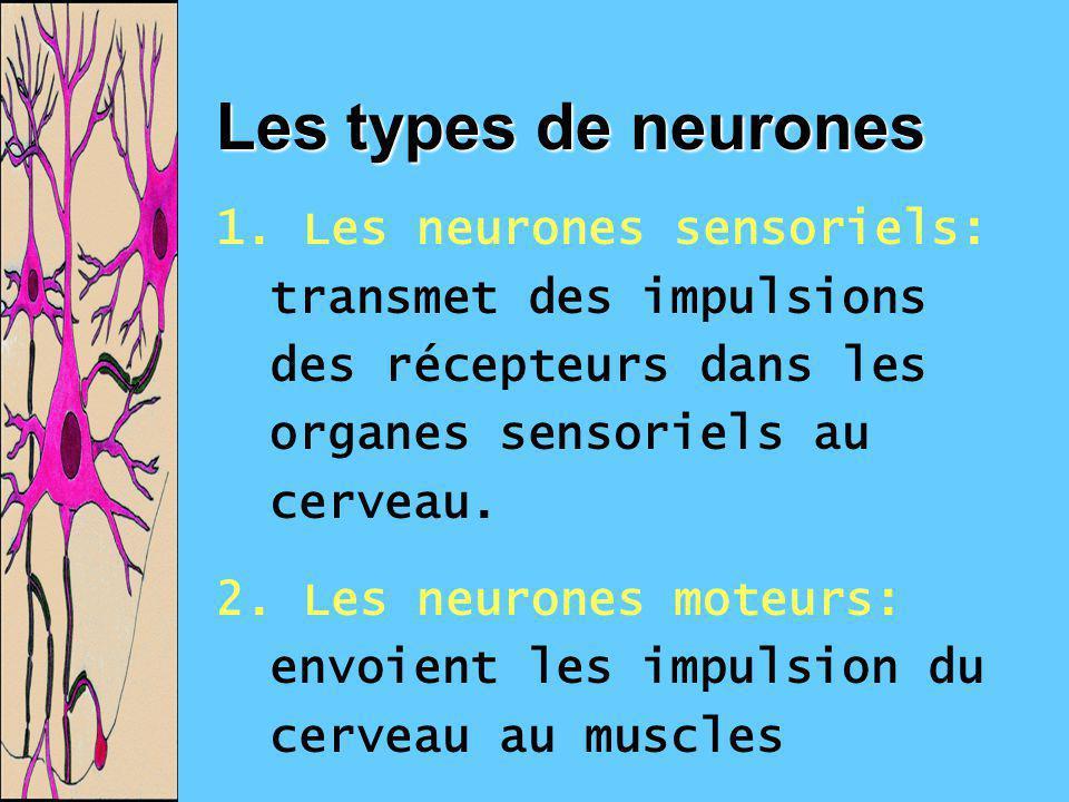 Les types de neurones 1. Les neurones sensoriels: transmet des impulsions des récepteurs dans les organes sensoriels au cerveau.