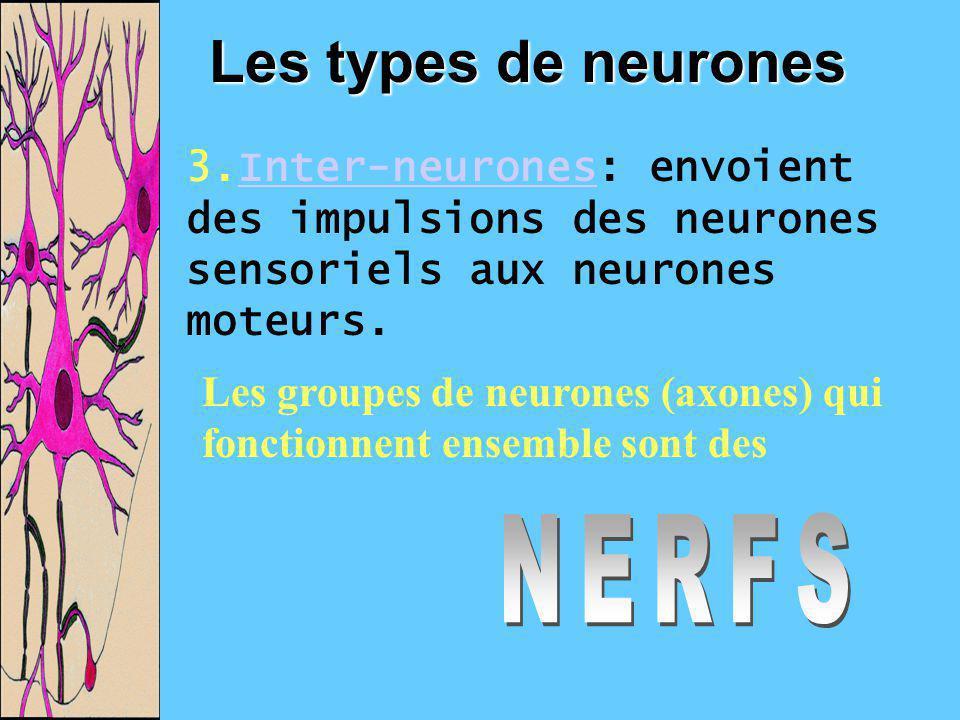 Les types de neurones NERFS
