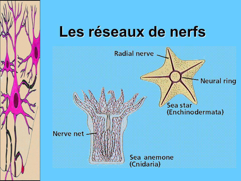 Les réseaux de nerfs