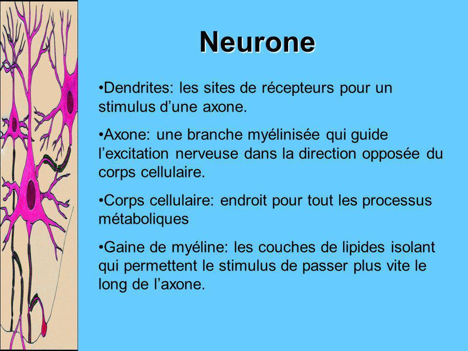 Neurone Dendrites: les sites de récepteurs pour un stimulus d'une axone.