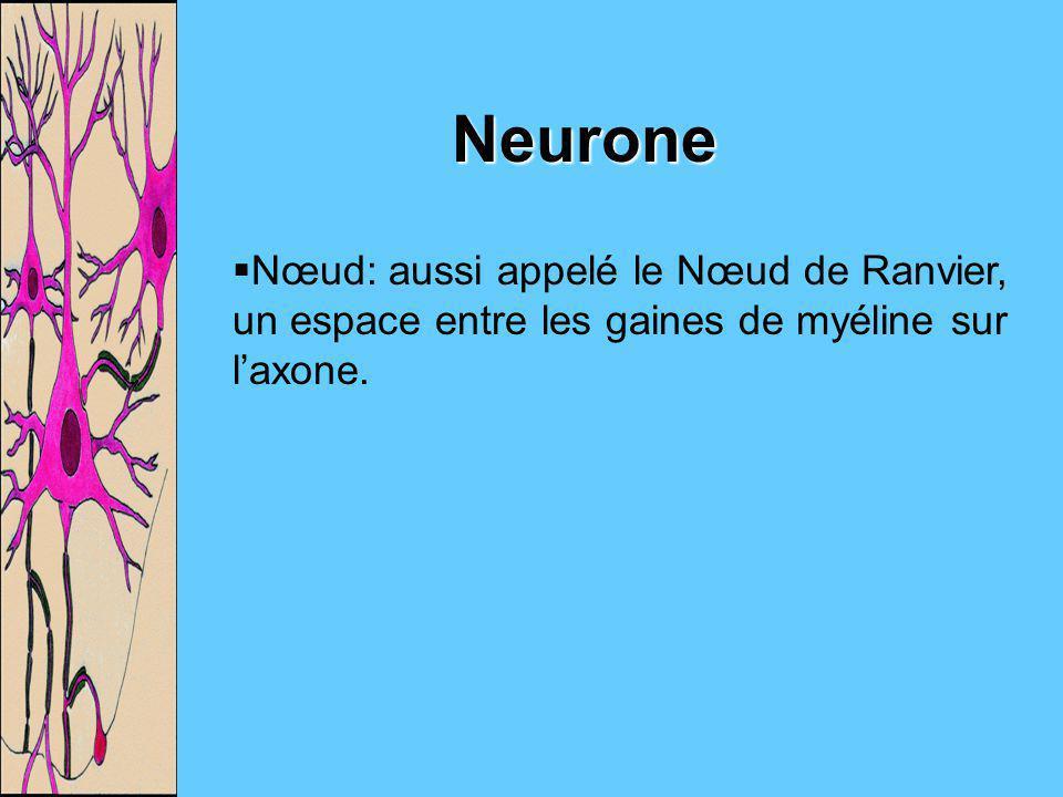 Neurone Nœud: aussi appelé le Nœud de Ranvier, un espace entre les gaines de myéline sur l'axone.