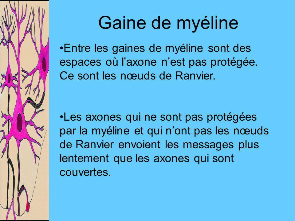 Gaine de myéline Entre les gaines de myéline sont des espaces où l'axone n'est pas protégée. Ce sont les nœuds de Ranvier.