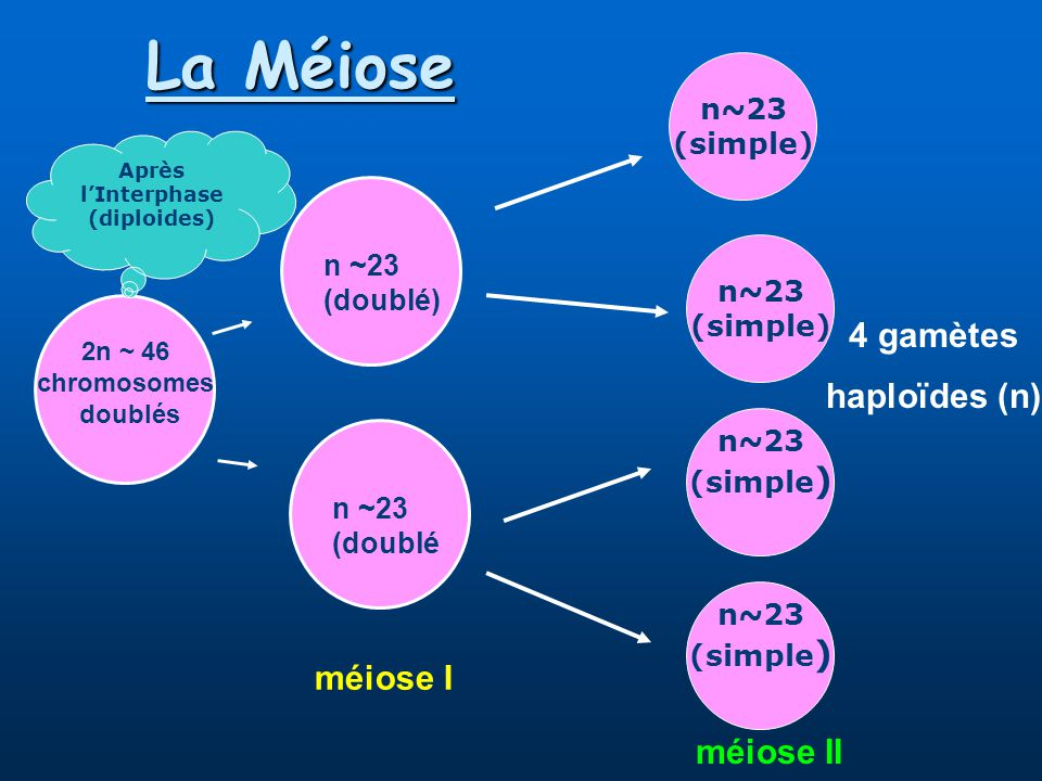 La Méiose 4 gamètes haploïdes (n) méiose I méiose II n~23 (simple)