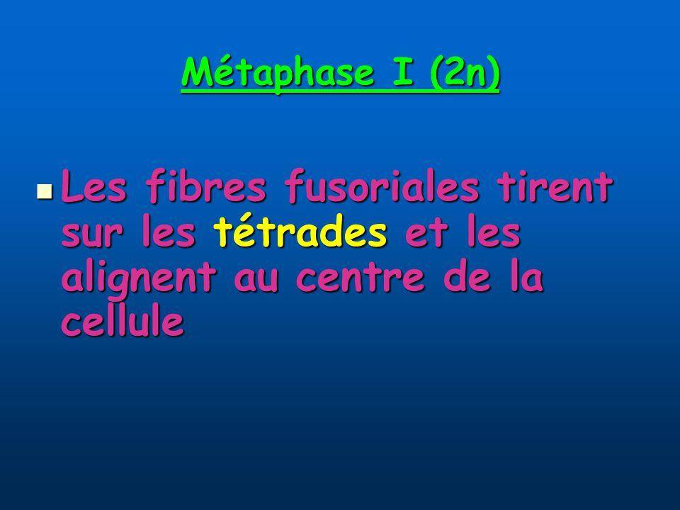 Métaphase I (2n) Les fibres fusoriales tirent sur les tétrades et les alignent au centre de la cellule.