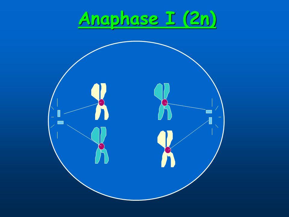Anaphase I (2n)