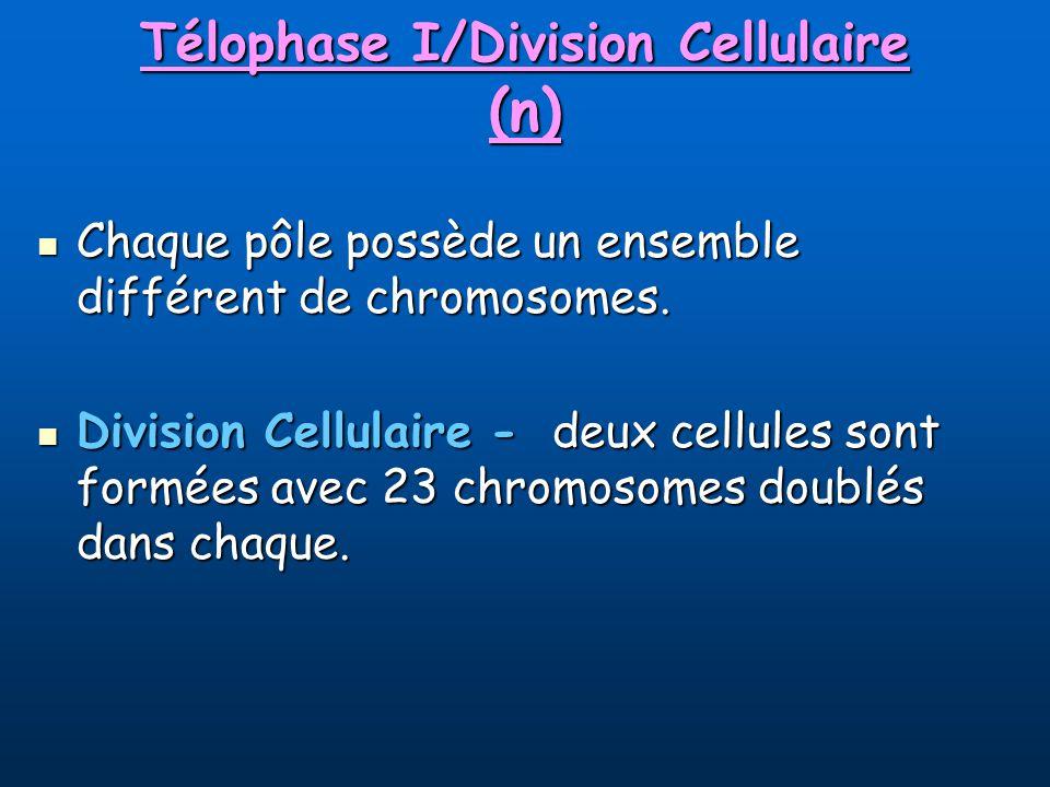 Télophase I/Division Cellulaire (n)