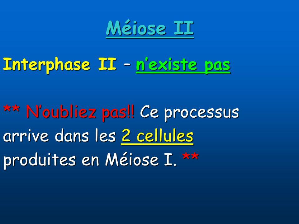 Méiose II Interphase II – n'existe pas ** N'oubliez pas!! Ce processus