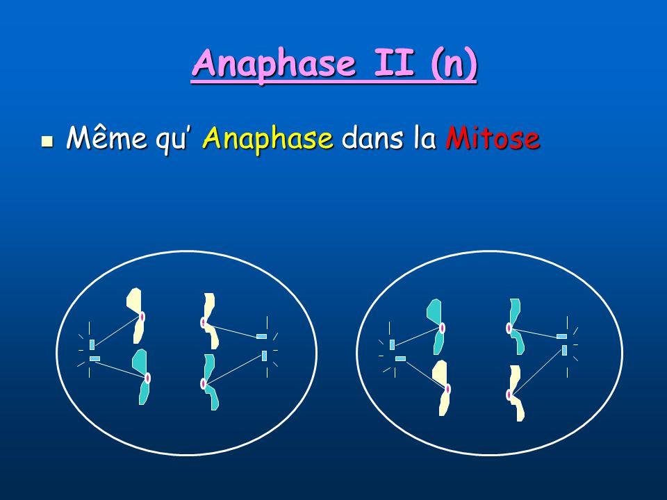 Anaphase II (n) Même qu' Anaphase dans la Mitose
