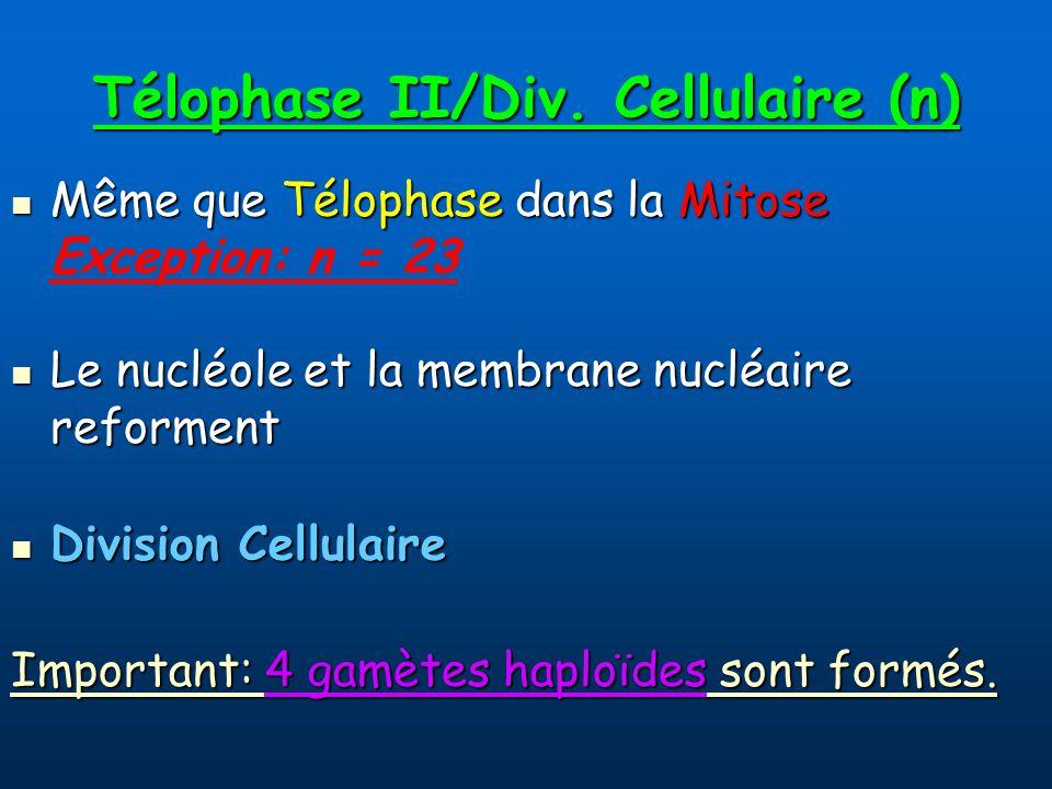 Télophase II/Div. Cellulaire (n)