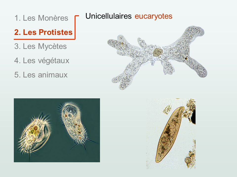 Unicellulaires eucaryotes