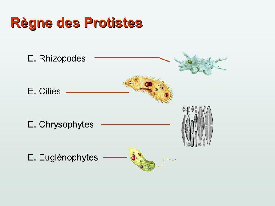 Règne des Protistes E. Rhizopodes E. Ciliés E. Chrysophytes