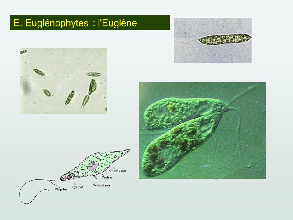 E. Euglénophytes : l Euglène