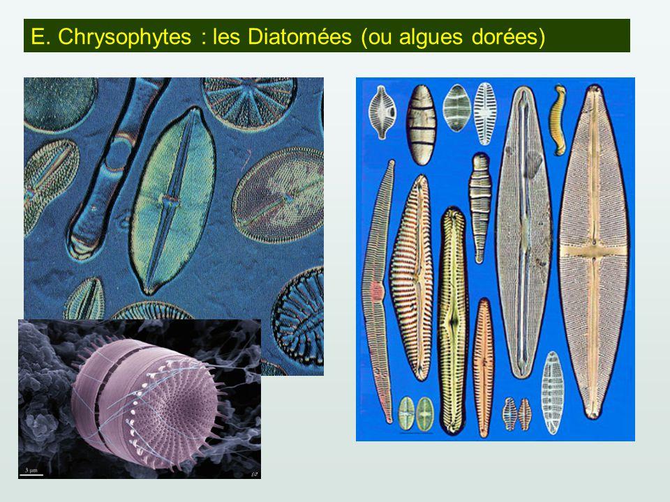 E. Chrysophytes : les Diatomées (ou algues dorées)