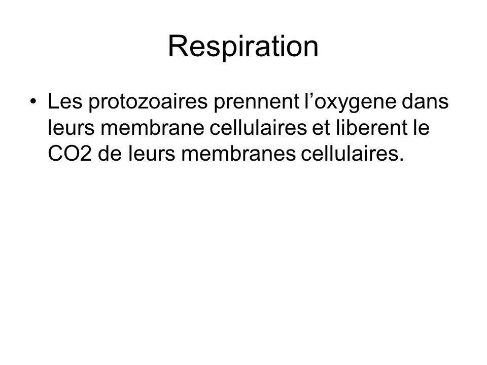 Respiration Les protozoaires prennent l'oxygene dans leurs membrane cellulaires et liberent le CO2 de leurs membranes cellulaires.