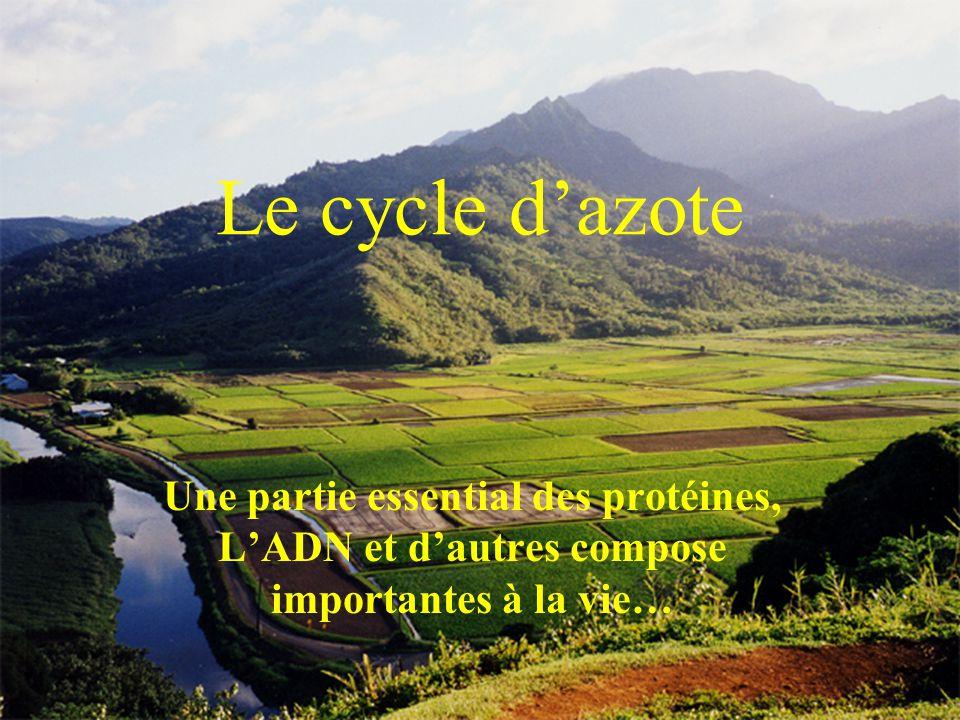 Le cycle d'azote Une partie essential des protéines, L'ADN et d'autres compose importantes à la vie…