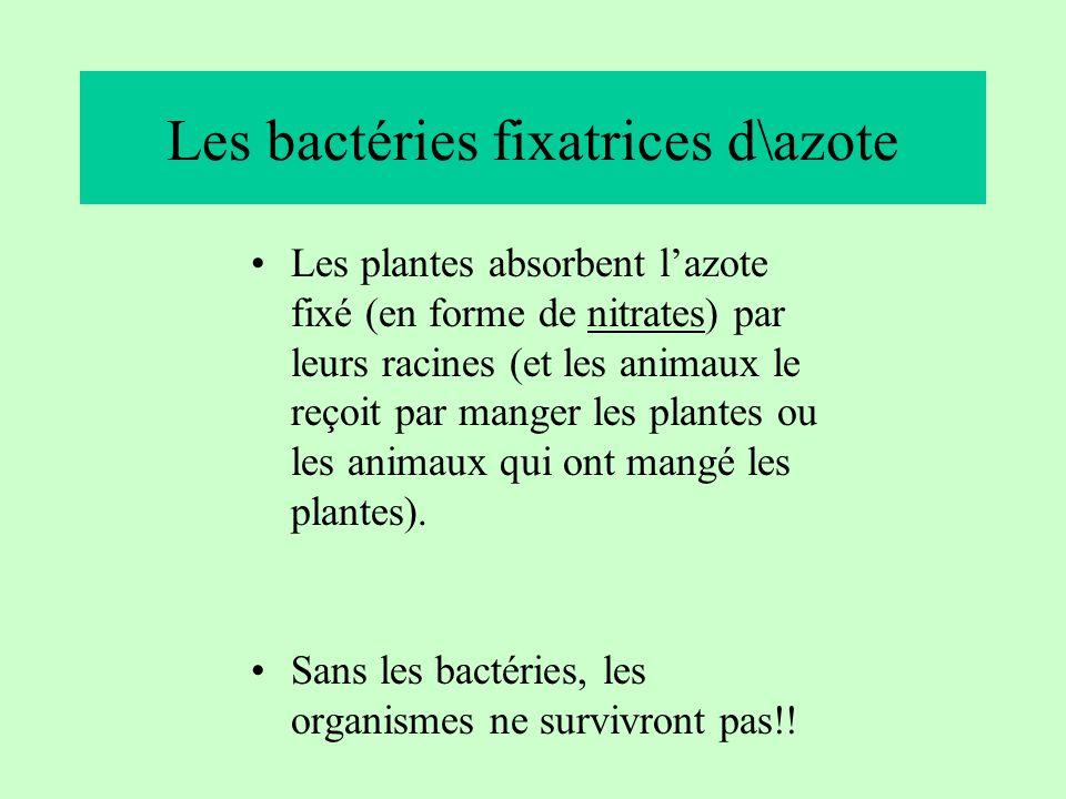 Les bactéries fixatrices d\azote