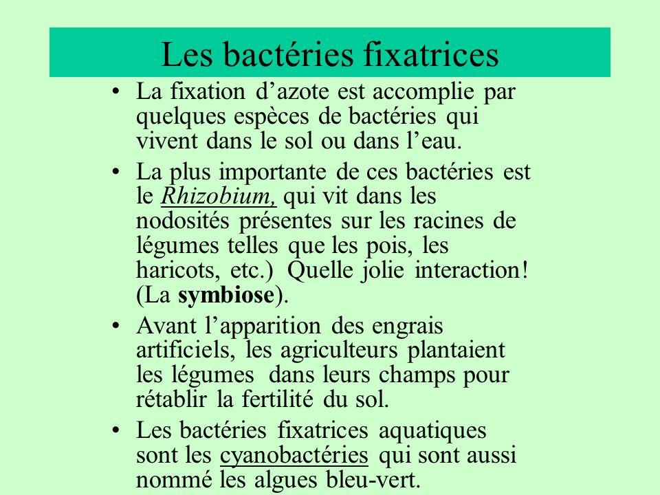 Les bactéries fixatrices