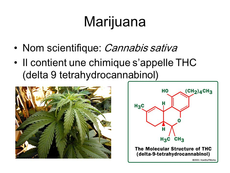 Marijuana Nom scientifique: Cannabis sativa