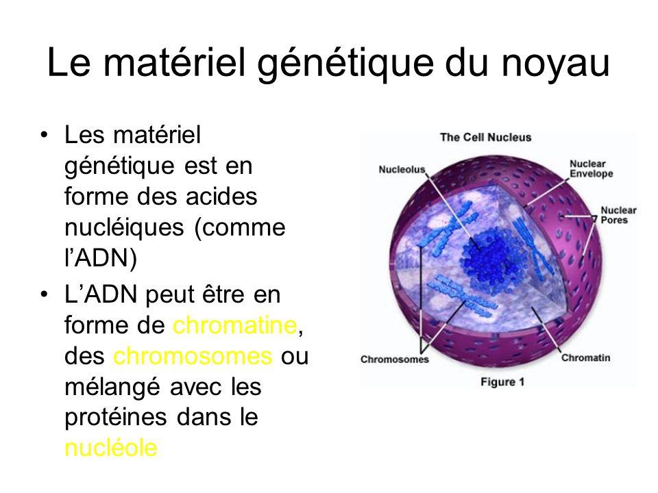 Le matériel génétique du noyau