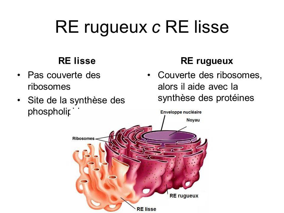 RE rugueux c RE lisse RE lisse RE rugueux Pas couverte des ribosomes