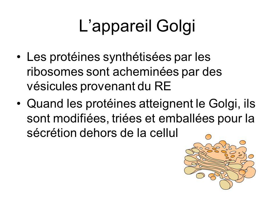 L'appareil Golgi Les protéines synthétisées par les ribosomes sont acheminées par des vésicules provenant du RE.