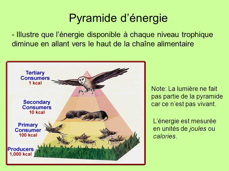 Pyramide d'énergie - Illustre que l'énergie disponible à chaque niveau trophique diminue en allant vers le haut de la chaîne alimentaire.