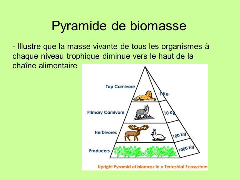 Pyramide de biomasse - Illustre que la masse vivante de tous les organismes à chaque niveau trophique diminue vers le haut de la chaîne alimentaire.