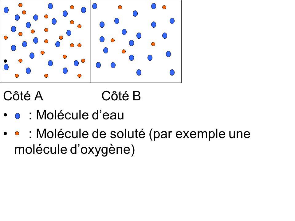 Côté A Côté B : Molécule d'eau.