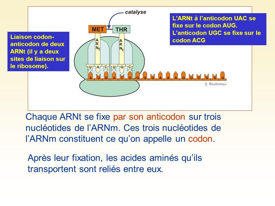 L'ARNt à l'anticodon UAC se fixe sur le codon AUG