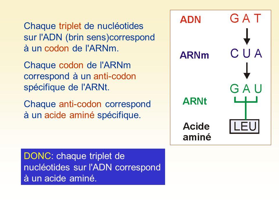 Chaque triplet de nucléotides sur l ADN (brin sens)correspond à un codon de l ARNm.