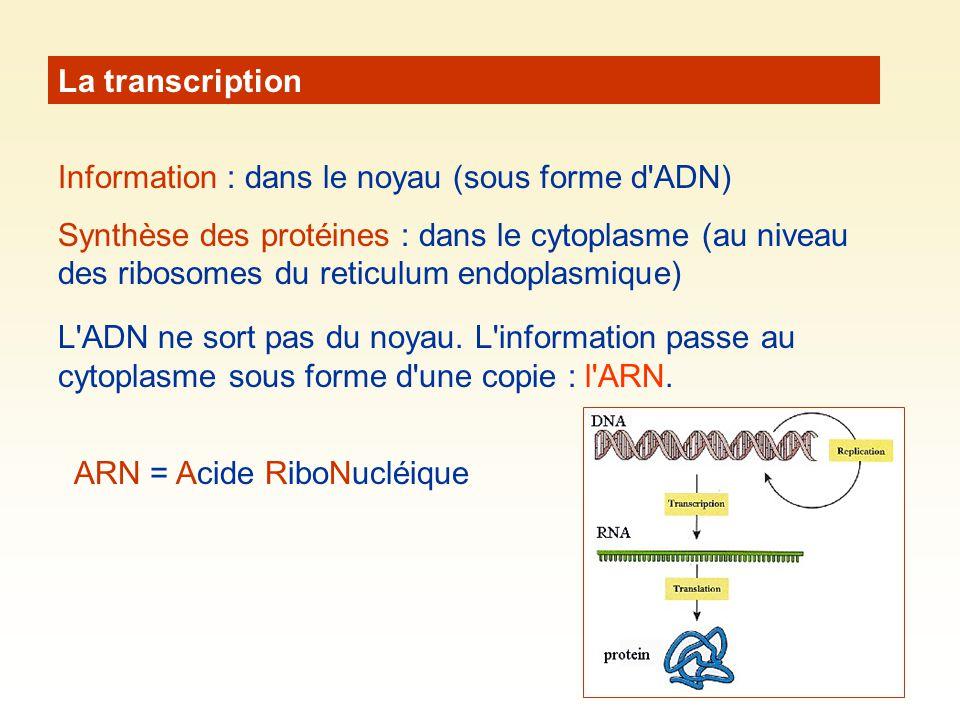 La transcription Information : dans le noyau (sous forme d ADN)