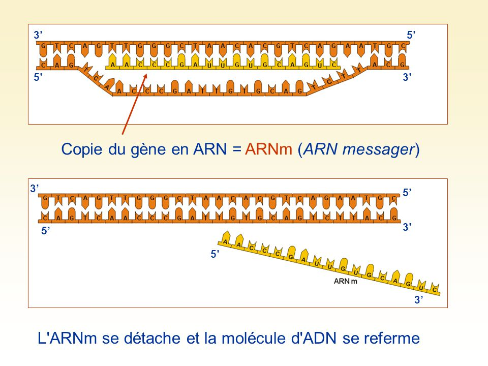 Copie du gène en ARN = ARNm (ARN messager)