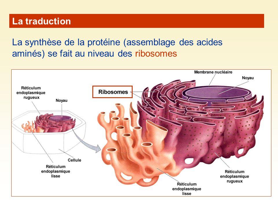 La traduction La synthèse de la protéine (assemblage des acides aminés) se fait au niveau des ribosomes.