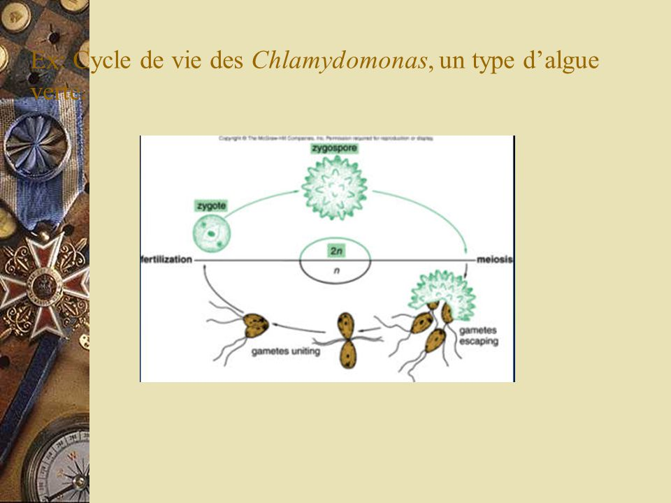 Ex: Cycle de vie des Chlamydomonas, un type d'algue verte.