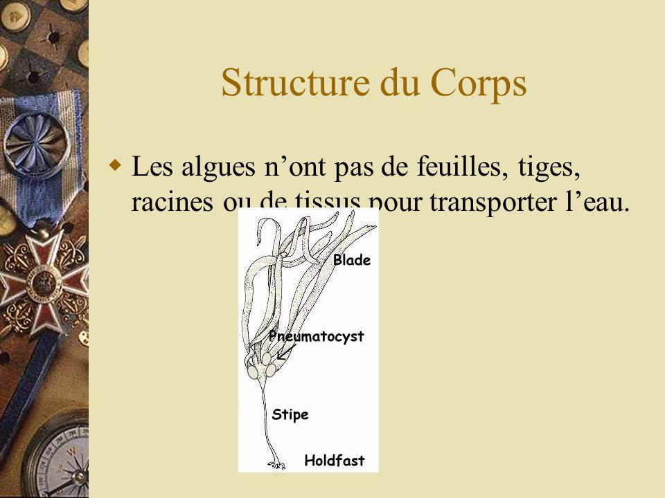 Structure du Corps Les algues n'ont pas de feuilles, tiges, racines ou de tissus pour transporter l'eau.