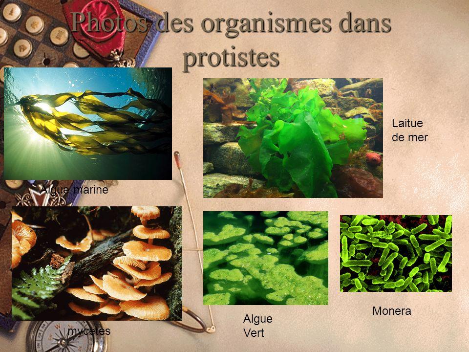 Photos des organismes dans protistes