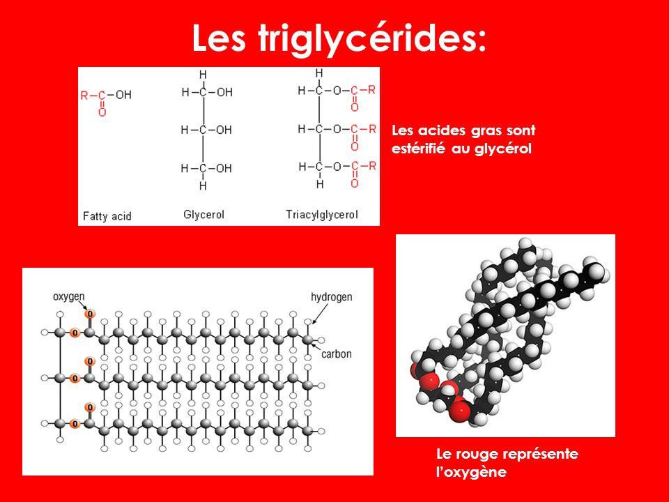 Les triglycérides: Les acides gras sont estérifié au glycérol