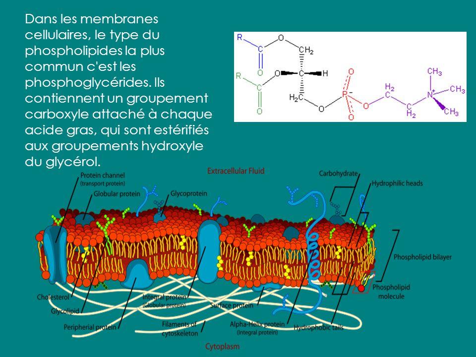 Dans les membranes cellulaires, le type du phospholipides la plus commun c est les phosphoglycérides.
