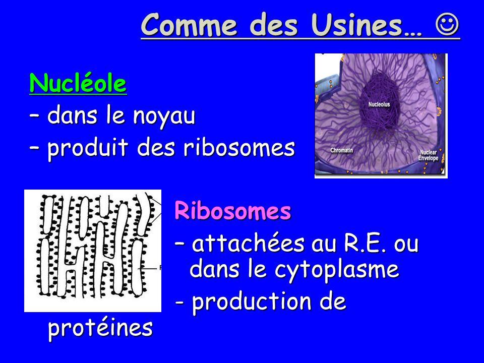 Comme des Usines…  Nucléole – dans le noyau – produit des ribosomes