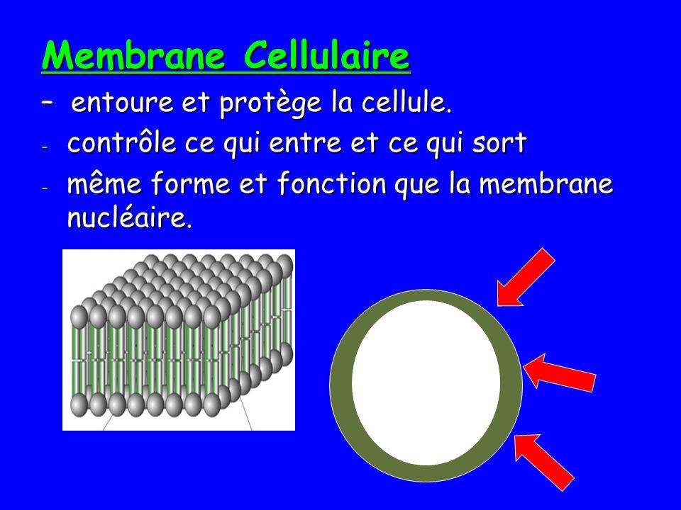 Membrane Cellulaire – entoure et protège la cellule.