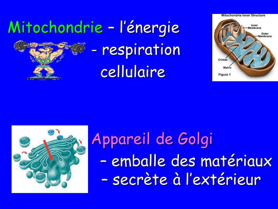 Mitochondrie – l'énergie