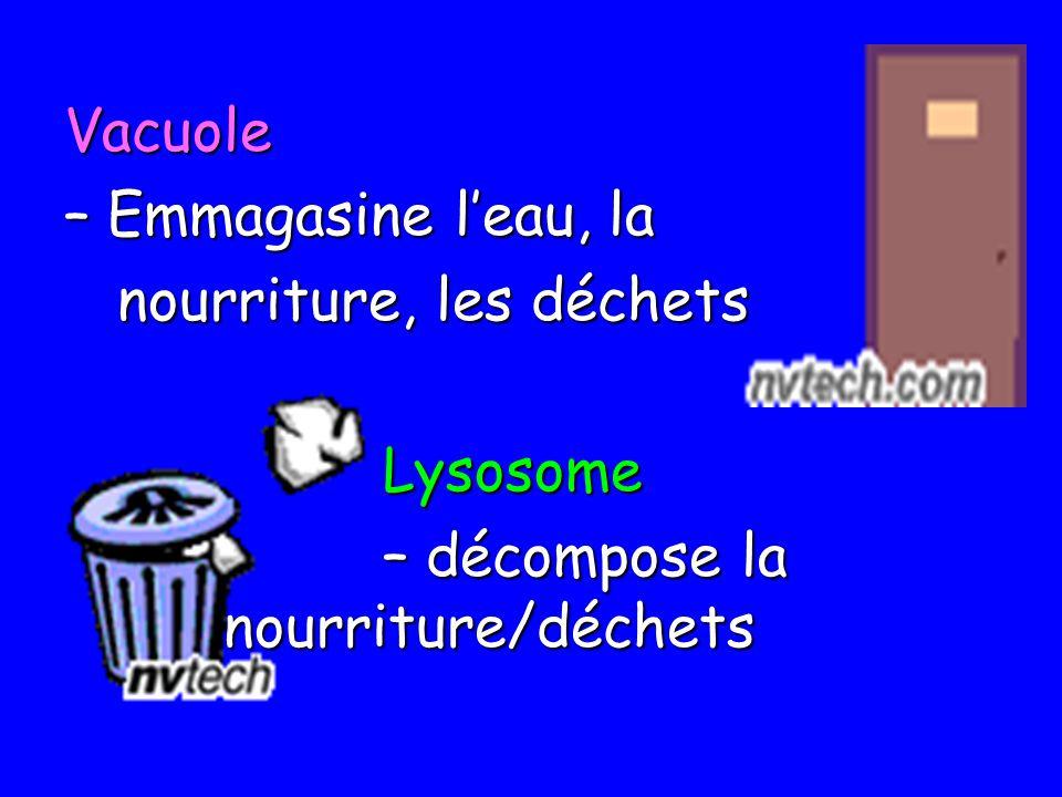 Vacuole – Emmagasine l'eau, la. nourriture, les déchets.