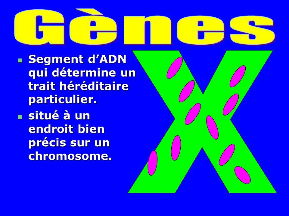 Gènes X Segment d'ADN qui détermine un trait héréditaire particulier.