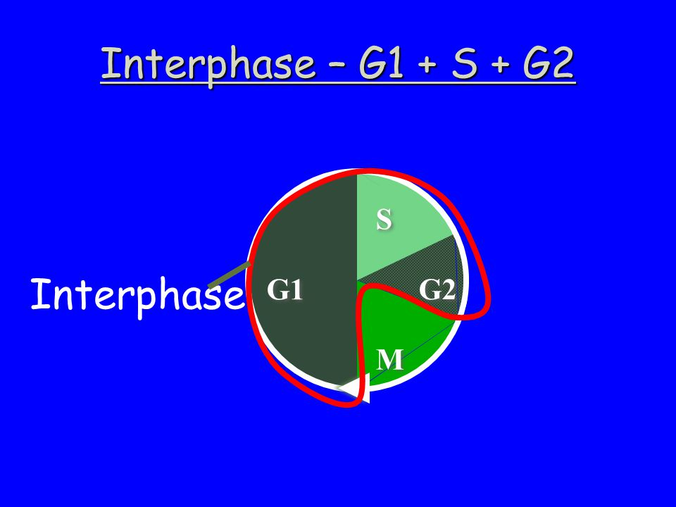 Interphase – G1 + S + G2 Interphase G1 M G2 S