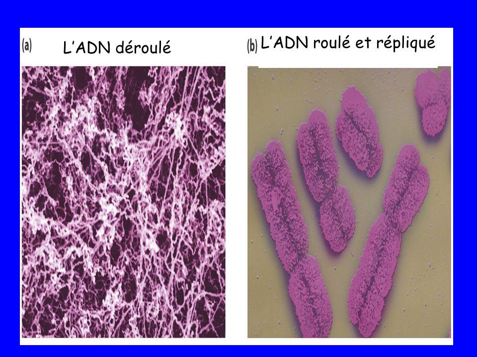 L'ADN roulé et répliqué