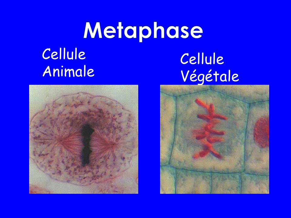 Cellule Animale Cellule Végétale