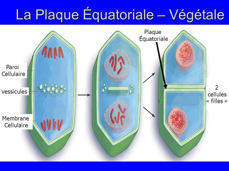 La Plaque Équatoriale – Végétale