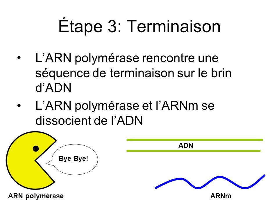 Étape 3: Terminaison L'ARN polymérase rencontre une séquence de terminaison sur le brin d'ADN. L'ARN polymérase et l'ARNm se dissocient de l'ADN.
