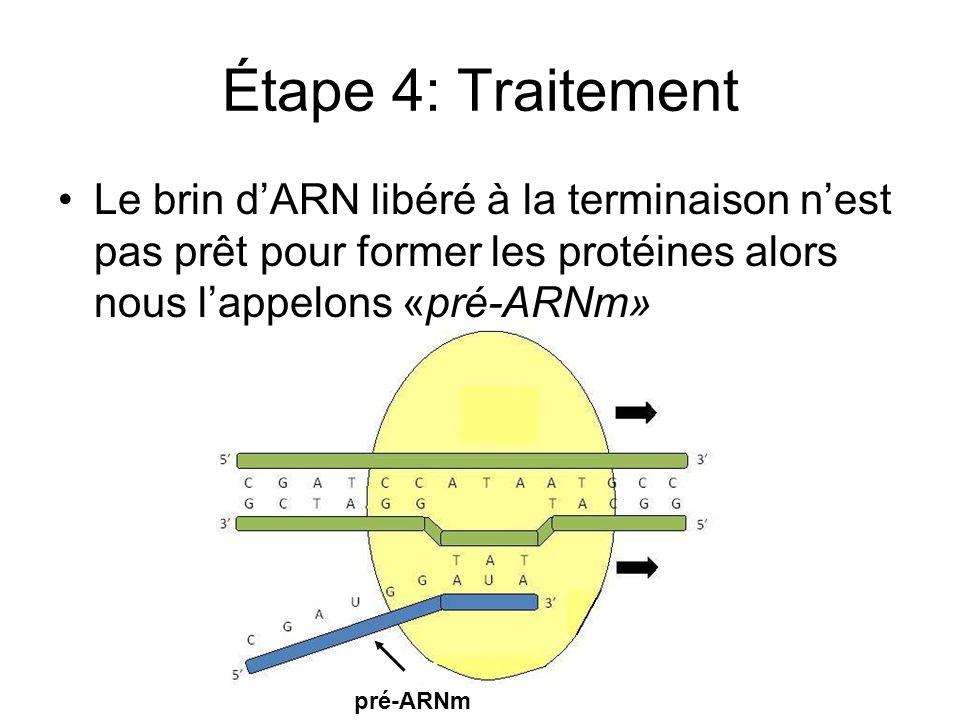 Étape 4: Traitement Le brin d'ARN libéré à la terminaison n'est pas prêt pour former les protéines alors nous l'appelons «pré-ARNm»