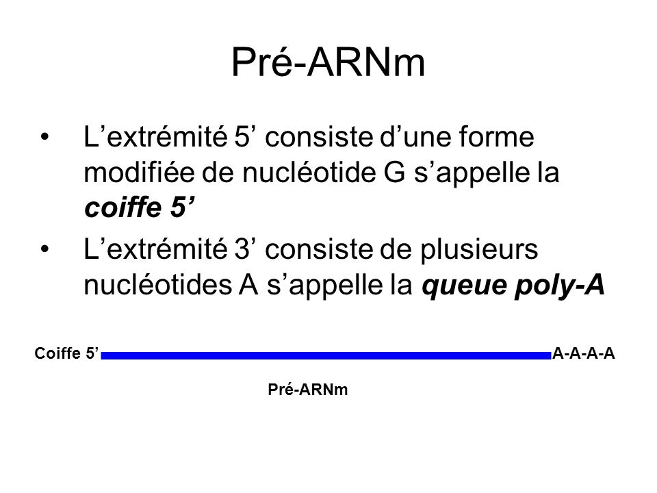 Pré-ARNm L'extrémité 5' consiste d'une forme modifiée de nucléotide G s'appelle la coiffe 5'
